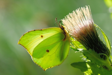 Brimstone butterfly (Gonepteryx rhamni) feeding on  a thistle flower photo