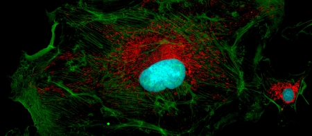 Microfilaments (green), mitochondria (red), and nuclei (blue) in fibroblast cells photo