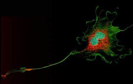 Microfilaments (green), mitochondria (red), and nuclei (blue) in dividing fibroblast cells photo