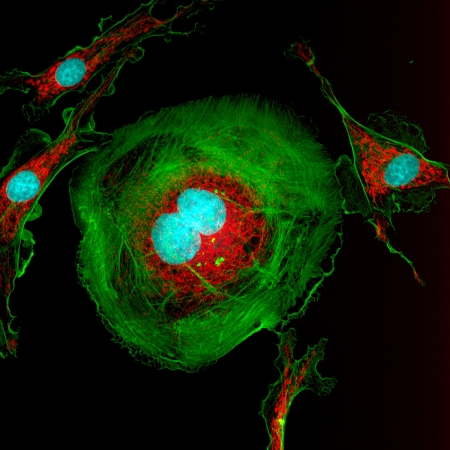 Microfilaments (green), mitochondria (red), and nuclei (blue) in dividing fibroblast cells
