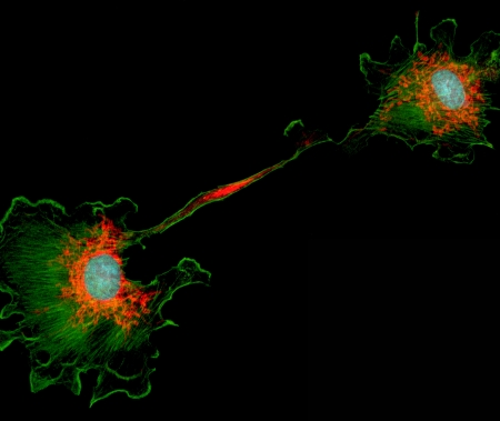Microfilaments (green), mitochondria (red), and nuclei (blue) in dividing fibroblast cell
