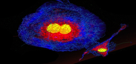 Microfilaments (blue), mitochondria (red), and nuclei (yellow) in fibroblast cells photo