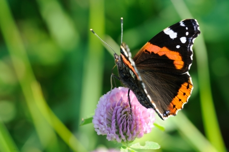 Red Admiral  Vanessa atalanta  is a well-known colourful butterfly Stock Photo