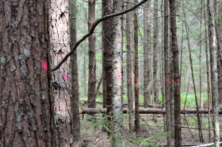 Counting of spruce trees in the forest Stock Photo