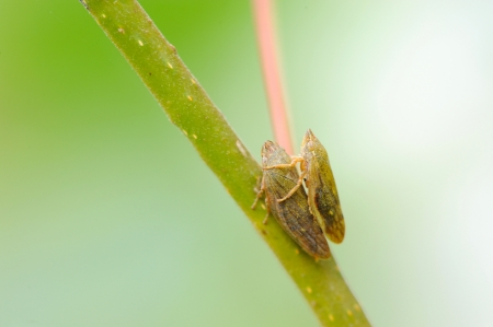 Two leafhoppers  order Homoptera  in love