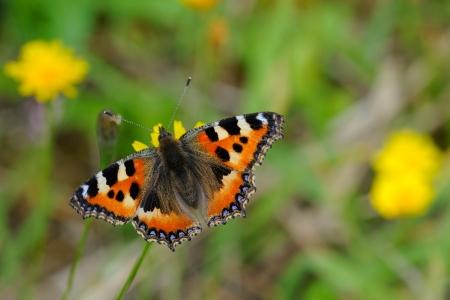 hawkweed: TTortoiseshell Butterfly  Aglais urticae  on a flower of hawkweed