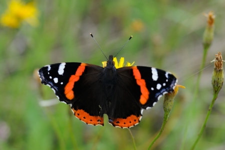 Red Admiral  Vanessa atalanta  on a flower of hawkweed