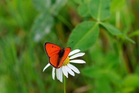 Large Copper Butterfly  Lycaena dispar  on daisy flower Stock Photo