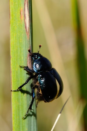 geotrupes: Forest dung beetle before takeoff Stock Photo