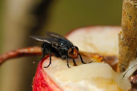 House-fly feeding on apple and honey Stock Photo