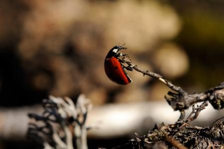 coccinella: Coccinella septempunctata, the seven-spot ladybird