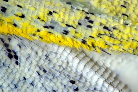 pieris: Wing of large white (Pieris brassicae) butterfly under zoom microscope. Stock Photo