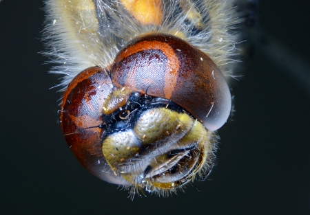 compound eyes: Compound eyes of dragonfly under zoom microscope. Stock Photo