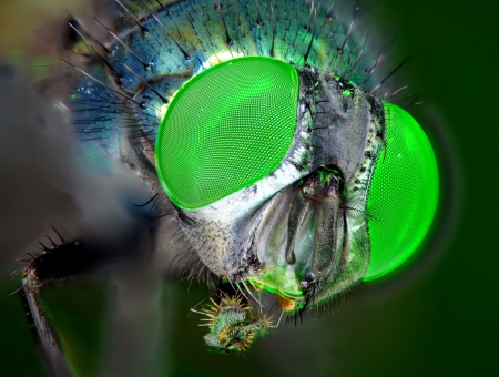 compound eyes: Compound eyes of a fly under zoom microscope. Stock Photo