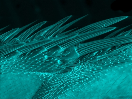 microscopy: Epidermis of fly wing, scanning electron microscopy