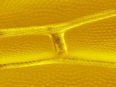 epiderme: �piderme de l'aile sauterelle, la microscopie �lectronique � balayage