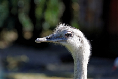 rhea: The Greater Rhea  Rhea americana  is a flightless bird found in eastern South America  Stock Photo