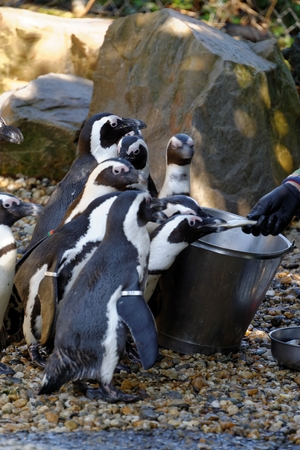 giardino: African Penguin  Spheniscus demersus , also known as the Jackass Penguin and Black-footed Penguin is a species of penguin, confined to southern African waters