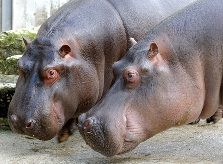 amphibius: Hippopotamus  Hippopotamus amphibius