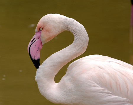 widespread: Greater Flamingo  Phoenicopterus roseus  is the most widespread species of the flamingo family