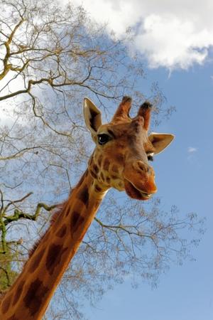 an ungulate: Giraffa (Giraffa camelopardalis) � un africano artiodattili mammifero ungulato, il pi� alto vivente animale terrestre e la pi� grande ruminante.
