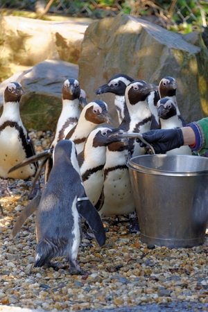 African Penguin (Spheniscus demersus), also known as the Jackass Penguin and Black-footed Penguin is a species of penguin, confined to southern African waters.