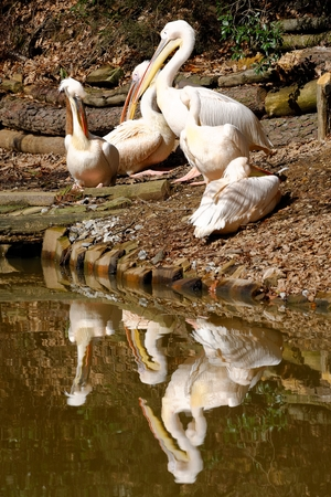 Great White Pelican (Pelecanus onocrotalus) also known as the Eastern White Pelican, Rosy Pelican or White Pelican is a bird in the pelican family.