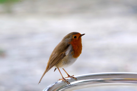 erithacus rubecula: European Robin (Erithacus rubecula), most commonly known in Anglophone Europe simply as the Robin, is a small insectivorous passerine bird.