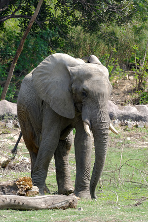 African elephants are elephants of the genus Loxodonta, consisting of two extant species