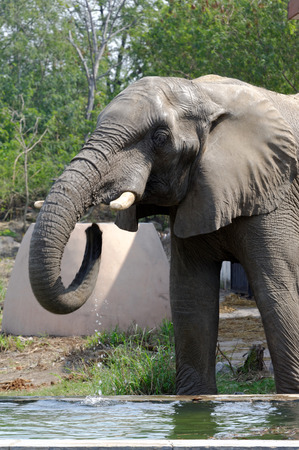 extant: African elephants are elephants of the genus Loxodonta, consisting of two extant species