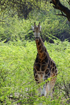 giardino: Giraffe  Giraffa camelopardalis  is an African even-toed ungulate mammal, the tallest living terrestrial animal and the largest ruminant