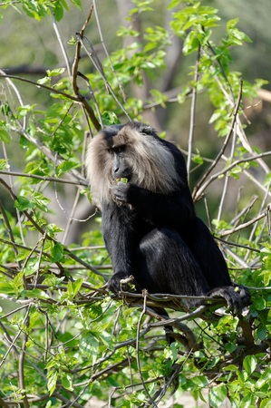 The lion-tailed macaque  Macaca silenus , or the wanderoo, is an Old World monkey endemic to the Western Ghats of South India  Stock Photo