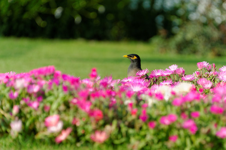 instinct: Common Myna  Acridotheres tristis , sometimes spelled Mynah, is a member of the family Sturnidae  starlings and mynas  native to Asia  An omnivorous open woodland bird with a strong territorial instinct, the Myna has adapted extremely well to urban enviro