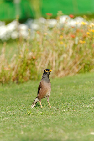 Common Myna  Acridotheres tristis , sometimes spelled Mynah, is a member of the family Sturnidae  starlings and mynas  native to Asia  An omnivorous open woodland bird with a strong territorial instinct, the Myna has adapted extremely well to urban enviro