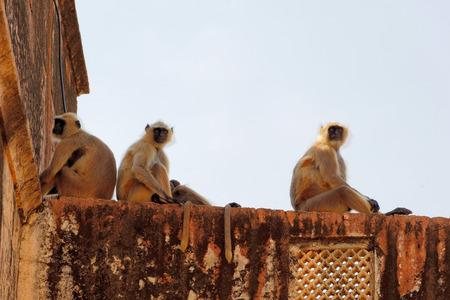 semnopithecus: Jaipurian Langurs in Amber Palace, Jaipur, India