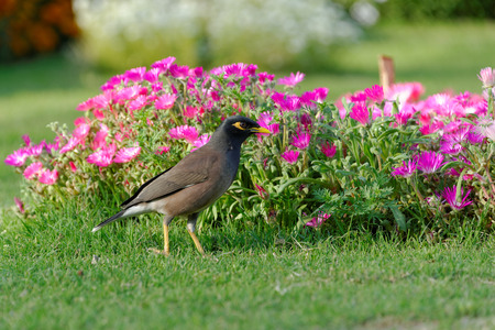 enviro: Common Myna  Acridotheres tristis , sometimes spelled Mynah, is a member of the family Sturnidae  starlings and mynas  native to Asia  An omnivorous open woodland bird with a strong territorial instinct, the Myna has adapted extremely well to urban enviro