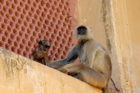 Jaipurian Langurs in Amber Palace, Jaipur, India