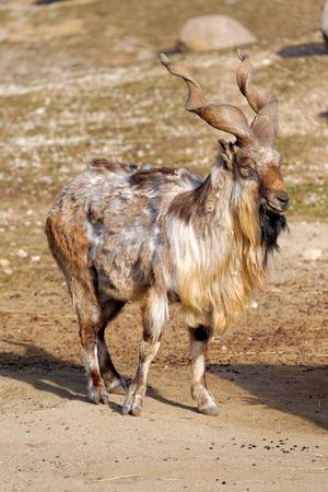 Bukharan Markhor, also known as Turkomen Markhor or Tadjik Markhor (Capra falconeri heptneri) is an endangered goat-antelope, native to Tajikistan, Pakistan, Turkmenistan and Uzbekistan, possibly also Afghanistan.