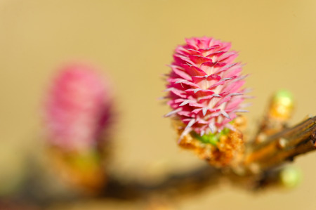 ovulate: Young ovulate cones of larch tree