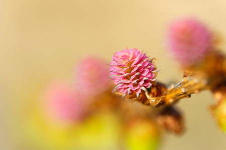 ovulate: Young pollen cones and ovulate cones of larch tree
