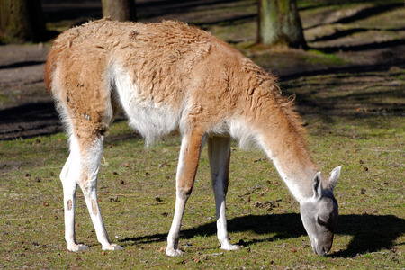 guanicoe: Guanaco (Lama guanicoe) is a camelid native to South America that stands