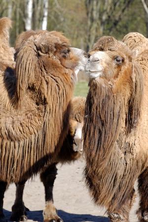 an ungulate: Cammello della Battriana (Camelus bactrianus) � un grande, artiodattili ungulato originaria delle steppe dell'Asia centrale. Delle due specie di cammello, � di gran lunga il pi� raro.
