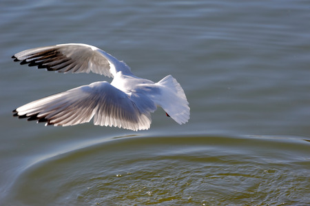 Black-headed Gull (Chroicocephalus ridibundus) is a small gull which breeds in much of Europe and Asia, and also in coastal eastern Canada. Stock Photo