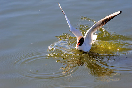 chroicocephalus: Black-headed Gull (Chroicocephalus ridibundus) is a small gull which breeds in much of Europe and Asia, and also in coastal eastern Canada. Stock Photo