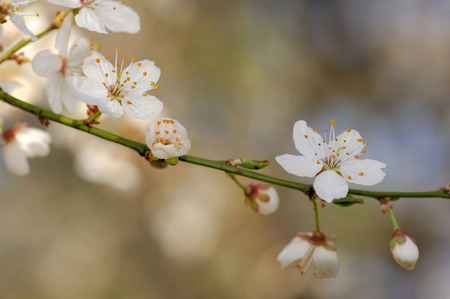 prunus cerasifera: Prunus cerasifera is a species of plum known by the common names cherry plum and myrobalan plum Stock Photo