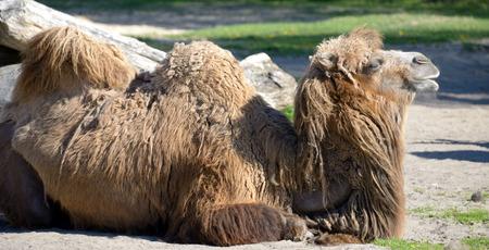 an ungulate: Cammello della Battriana (Camelus bactrianus) � un grande, artiodattili ungulato originaria delle steppe dell'Asia centrale.