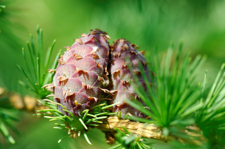 ovulate: Ovulate cones  strobiles  of larch tree, spring, May