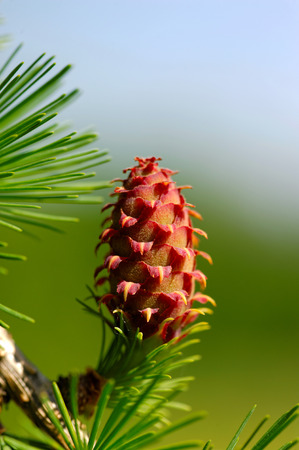 ovulate: Ovulate cone  strobile  of larch tree, spring, May