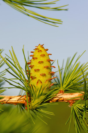 ovulate: Ovulate cone (strobile) of larch tree, spring, May Stock Photo