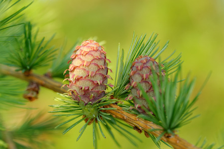 ovulate: Ovulate cones (strobiles) of larch tree, spring, May Stock Photo